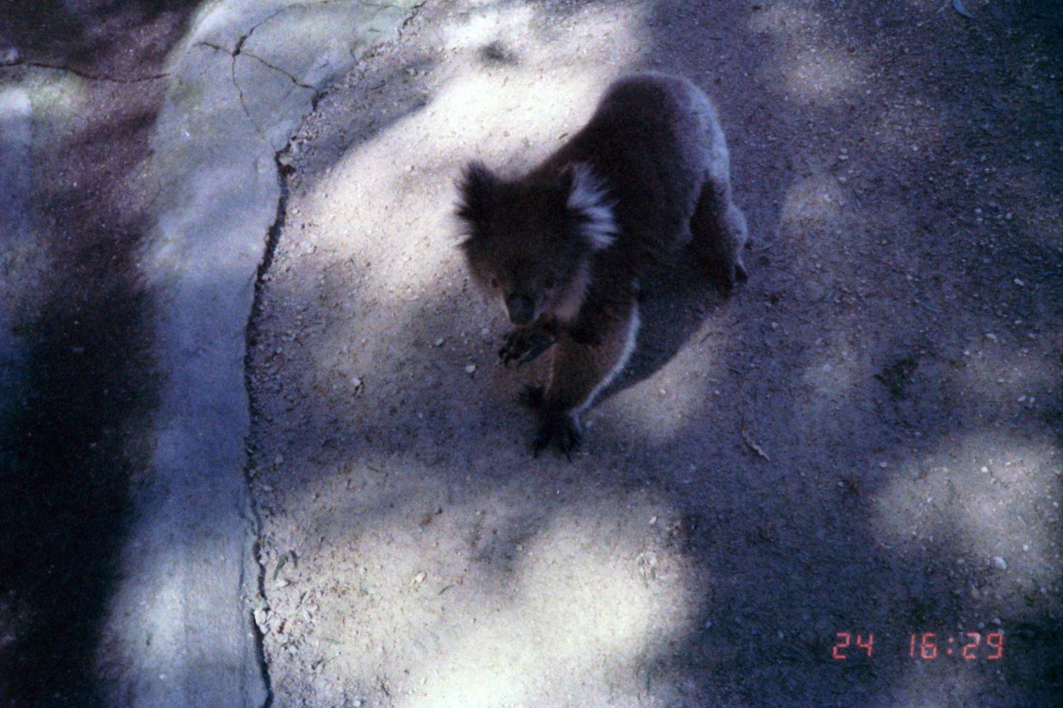 1984_Australia 11-24_(動物園にてコアラ歩く)